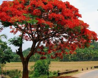 10+ ROYAL POINCIANA TREE Delonix Regia aka Red Flame Flamboyant Tree Peacock Flower Seeds