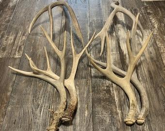 2 Pack Mule Deer Antler. Whole Deer Antler. Craft Antler. Grade A Antler. Antler Sheds
