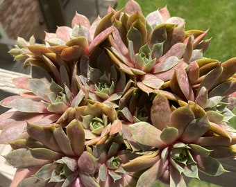 """Hen and Chicks, Variety """"Sunset"""" (Sempervivium tectorum) Rosettes and Fully Rooted Plants"""