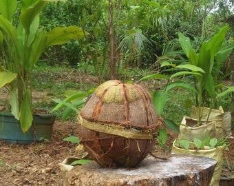 Coconut Shell Orchid Husk Tropical Plant Natural Decoration Garden Sri Lanka