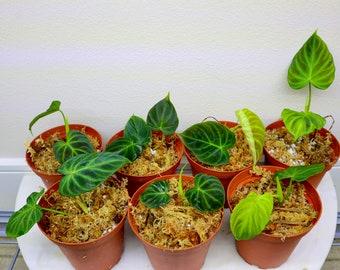 Philodendron verrucosum micro rare plants in 4 inches pot