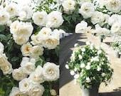 Rose climbing white Plant Rosa climber 39 Iceberg 39 Live Plant Perennial outdoor 1Gallon Pot FR
