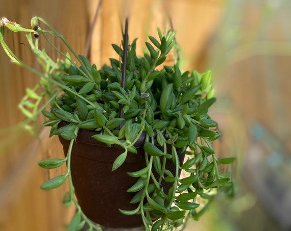 """LIVE 6"""" Hanging Pot -String of Bananas l Trailing Succulent l Senecio Radicans"""