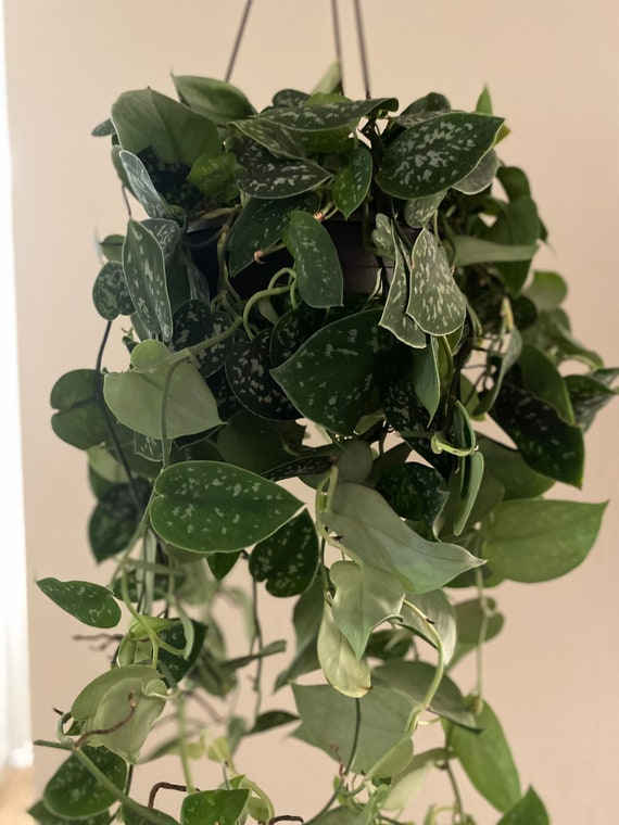 Live- Rooted Potted Silver Satin Pothos l Scindapsus Pictus Arguraeus l Cuttings