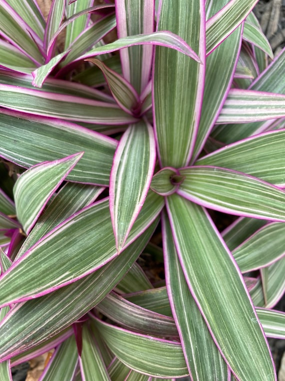 LIVE Tradescantia Spathacea Rooted l Moses-In-The-Cradle l Oyster Plant l Variegated