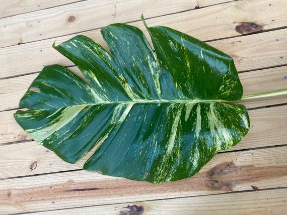 Buy 1 get 1 FREE* -Variegated Giant Hawaiian Pothos