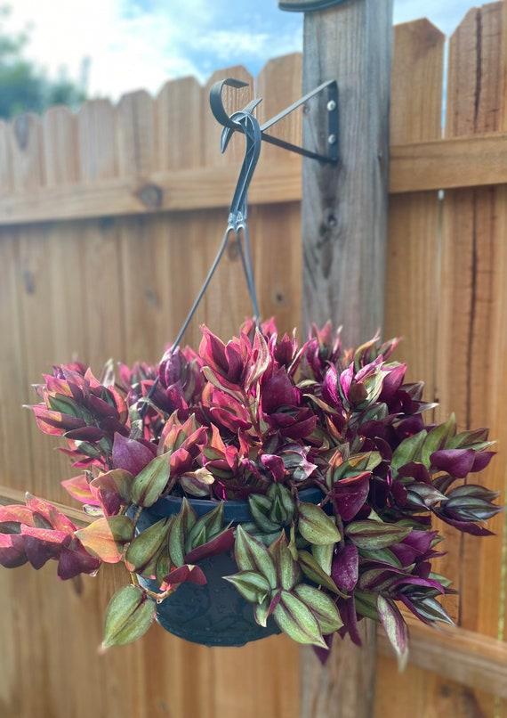 LIVE Rooted Hanging Pot of Wandering Jew l Tradescantia Zebrina Bi-Color