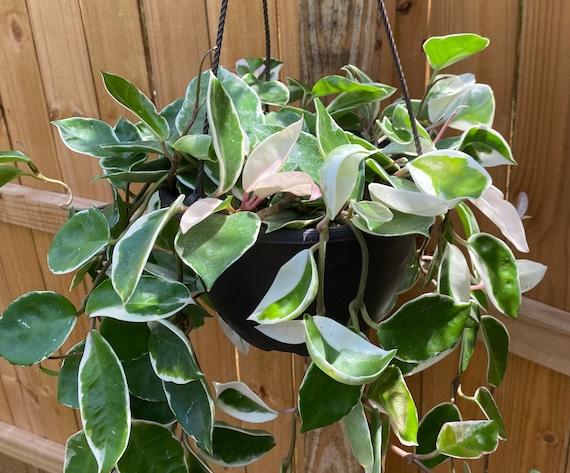 RARE Hoya Tricolor Carnosa 'Krimson Queen' Variegata Cutting