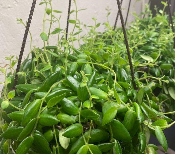 LIVE Lip Stick Plant Cutting- Aeschynanthus Radicans