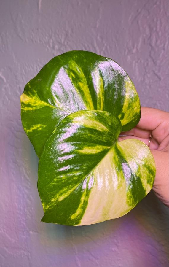 Hawaiian Pothos SALE! l Epipremnum Aureum