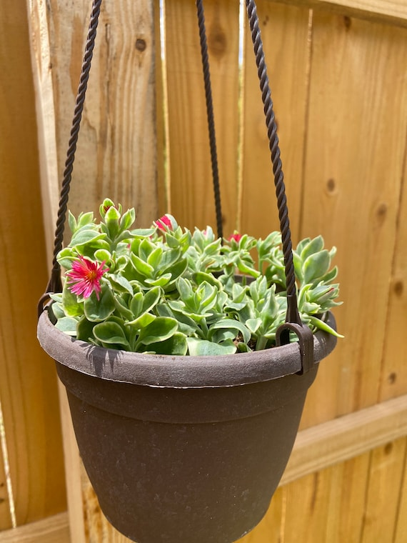 LIVE Lightly Rooted Hanging Pot Dorotheanthus- Mezoo Trailing Red l Variegated Baby Sun Rose l Hanging Succulent l Annual