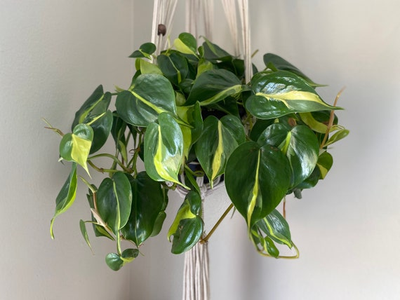 Brasil Philodendron-CUTTINGS