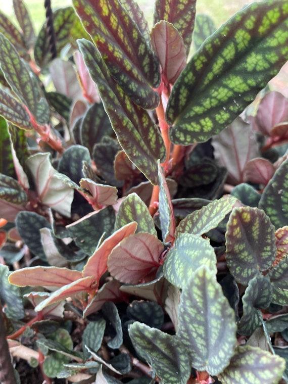 LIVE Rare Polynesian Ivy-Pellionia Pulchra