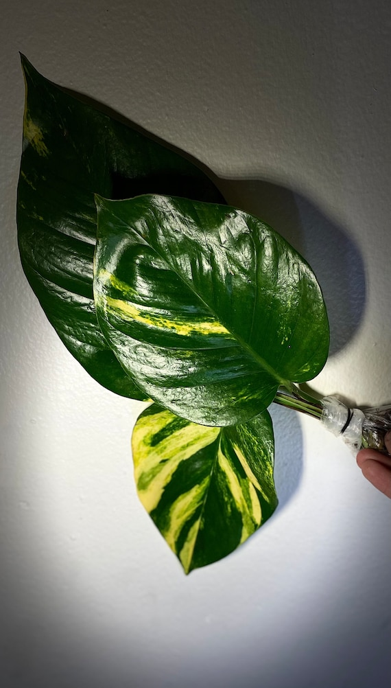 3+ LIVE! Large Variegated Hawaiian Golden Pothos Cuttings