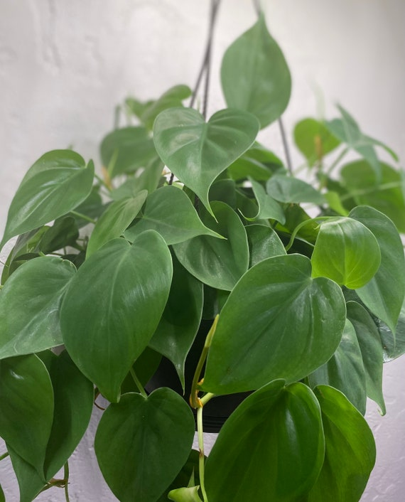 LIVE Green Philodendron l Heartleaf Philodendron l Vining Plant l House Plant