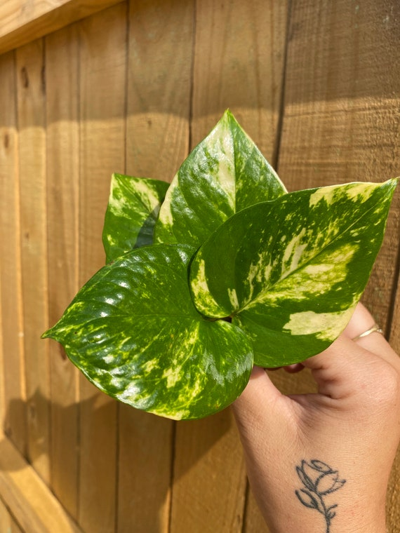 3+ LIVE Medium Variegated Hawaiian Golden Pothos Cuttings With Roots