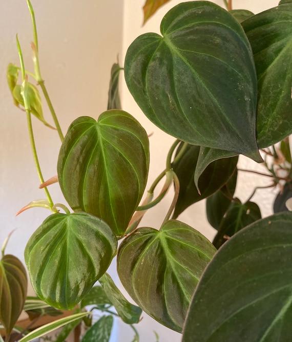 """Philodendron Micans """"Velvet"""" Leaf"""