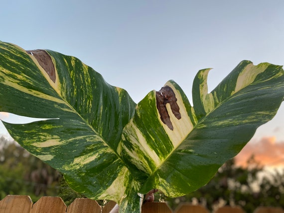"BOGO Sale- Live DISCOUNTED- ""Special"" GIANT Variegated Hawaiian Golden Pothos l Vining l Please Read Description"