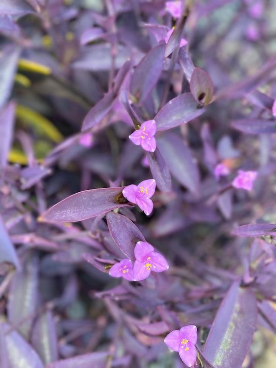 Purple Heart/ Purple Queen l Tradescantia Pallida