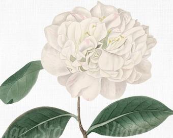 Vector PNG JPG Collage Craft Scrapbook Art Prints Flower Clipart Camellia  Digital Download SVG Files for Cricut Botanical Print
