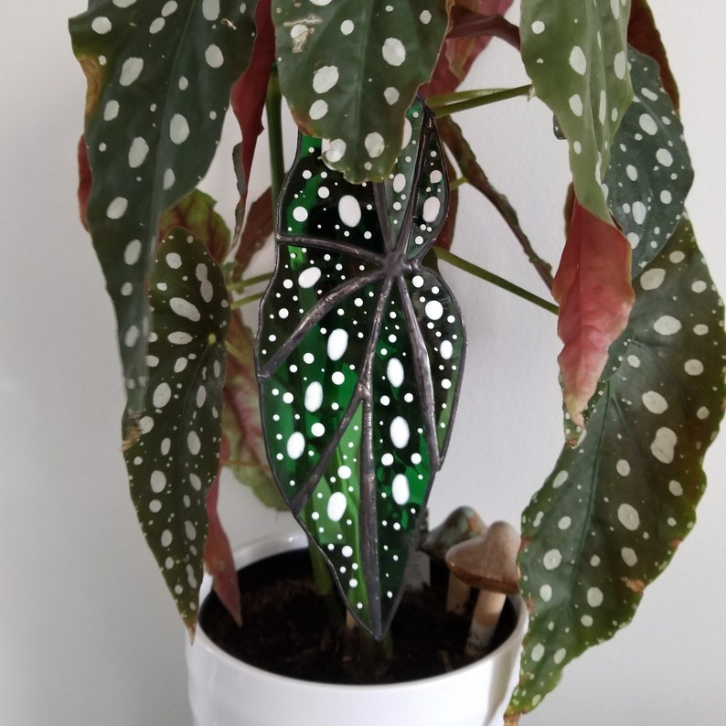 Begonia maculata Stained Glass Leaf Suncatcher Plant