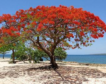 Royal Poinciana Flamboyant Tree Seeds