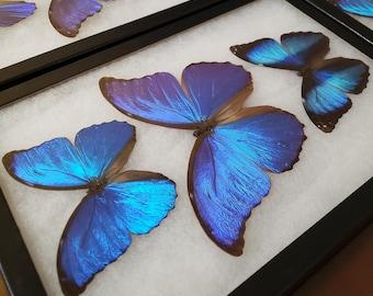 Real Framed Blue Morpho Butterfly Amazon Rainforest