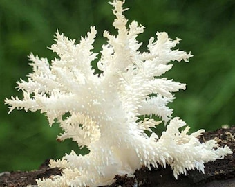 Comb Tooth Mushroom Hericium coralloides Agar culture plate