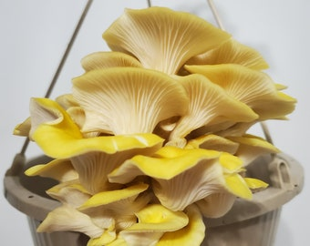 Golden oyster Pleurotus citrinopileatus mushroom agar culture plate