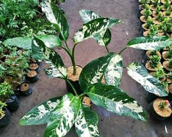 Diefenbachia tricolor
