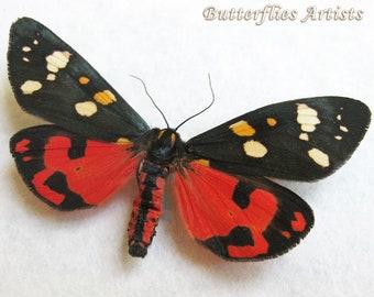 Tiger Moth  Real Moth  Framed Moth  Oddities  Taxidermy  Curiosities  Momento Mori  Kawaii  Creepy  Cute  Oddity  Victorian