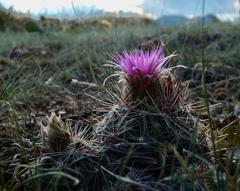Evening Beehive Cactus