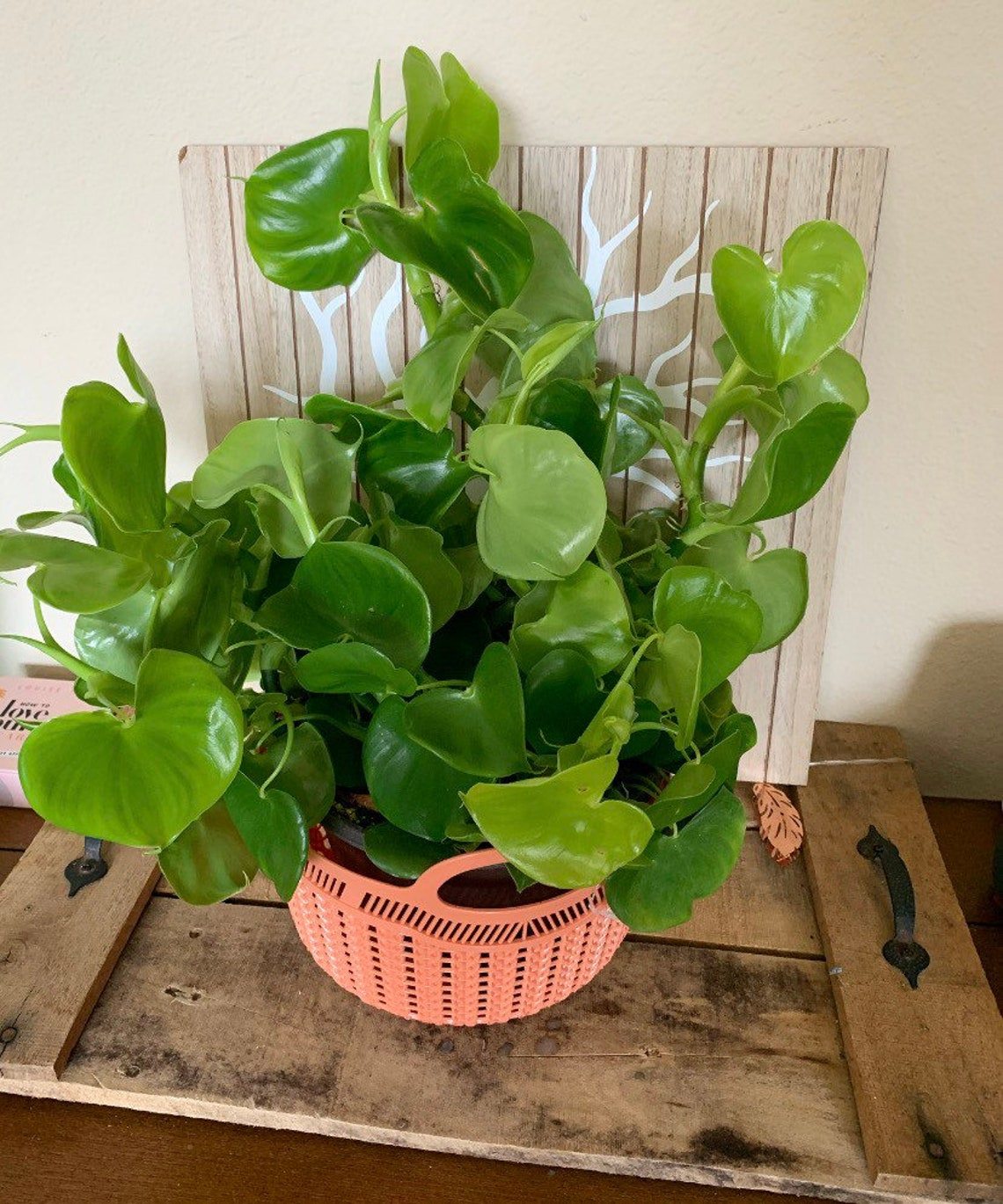 Philodendron Grazielae cutting image 0