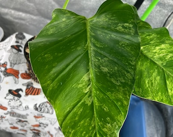 """Variegated Giganteum """"Blizzard"""" - Live House Plants - Complimentary Priority USPS Shipping"""