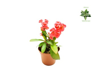 Miniature Crown of Thorns - 2'' from Philo Tropicals