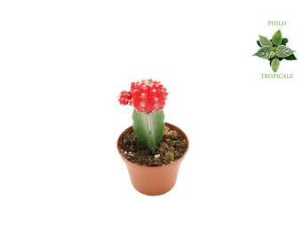 Red Ruby Ball Cactus - 2''  from Philo Tropicals