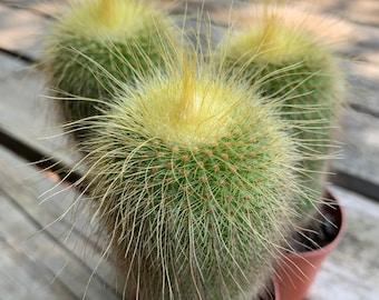 "Golden Ball Cactus | 2"" Pot | Parodia leninghausii | Windowsill Plant | Flowering Cactus | Min Temp 30F"