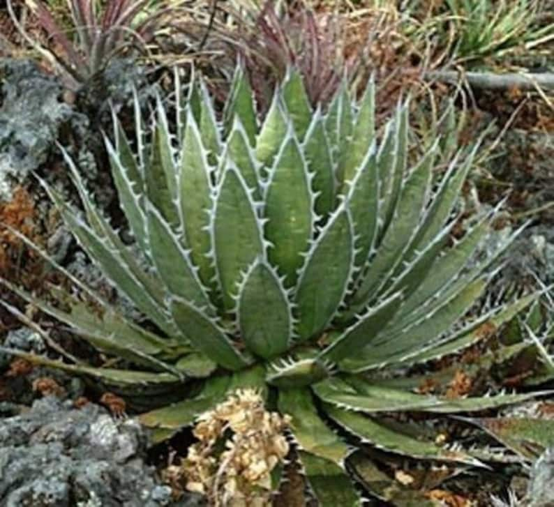 /'Mexcalli/' 10 Seeds Mexican Agave Agave horrida