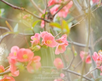 """Photography Cognassier Flower of Japan, Nature """"Light of the Heart"""" Fine Art Art Printing on Glossy Paper for Decoration"""