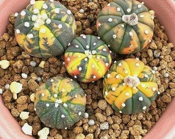 3cm Succulent Cacti Live Plant Cactaceae Astrophytum Asterias Yellow Hybrid Rare