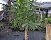 10 Pachira Money Tree 4 Feet Tall