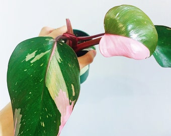 Philodendron Pink Princess - cutting, bottom plants with ROOTS