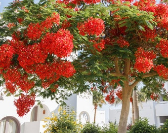 Royal Ponciana Tree Fire Plant Bonsai rooted starter tree -4-10 inches, Royal Poinciana, Delonix Regia, Flame of the Forest, Flowering tree