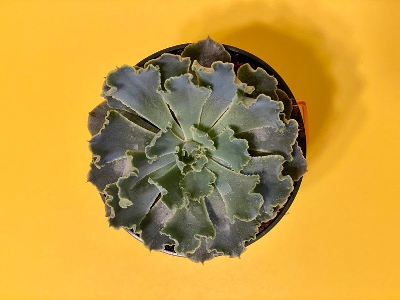 3.5/' inches Adromischus Cristatus \u201ccrinkle-leaf plant\u201d live succulent