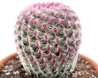 RARE pink Hedgehog cactus - Echinocereus Pectinatus - Rubispinus Cactus - Ruby Rainbow - Rainbow cactus   potted FREE SHIPPING