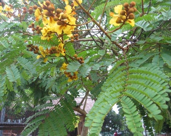 10 Peltophorum pterocarpum Seeds, Tree of Fire, Flamboyant Yellow, Flamboyant of India