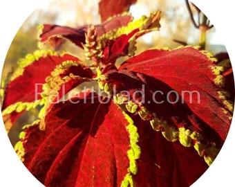 Coleus Fairway Ruby 10 seeds