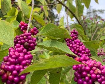 American Beautyberry - Live plant - 30-36 inches Callicarpa americana)