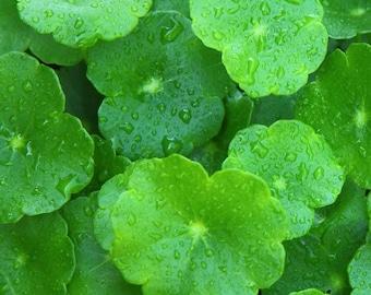 Organic Pennywort - Centella - Live plant