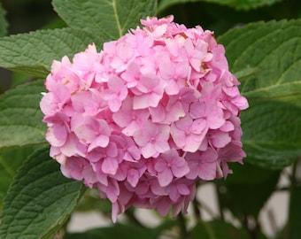 10 Hydrangea Flower Seeds Mix Colors C1041